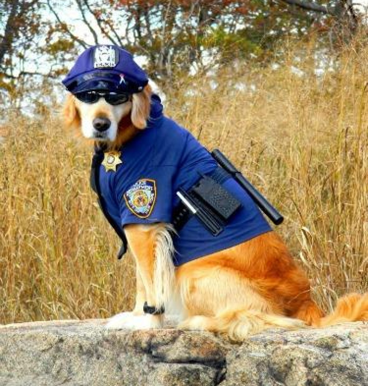Head of NYU Public Safety Revealed to Be Very Clever Golden Retriever